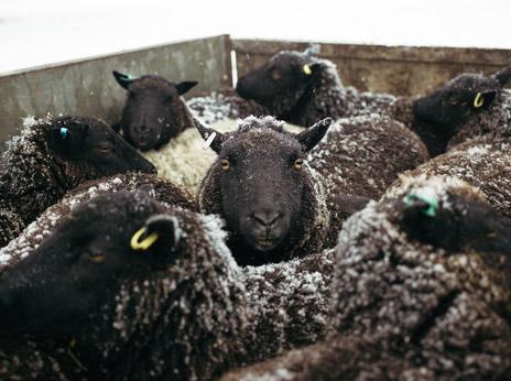 Holmbush Livestock 1
